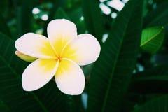 一朵热带黄色花 库存图片