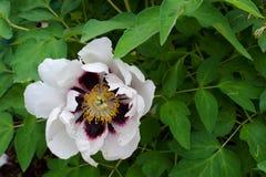一朵狂放的白色牡丹花的特写镜头与一个紫色中心的 免版税库存照片