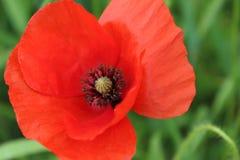 一朵狂放的红色鸦片花的宏观细节 免版税图库摄影