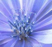 一朵狂放的蓝色苦苣生茯花的里面的宏指令 免版税图库摄影