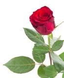 一朵猩红色红色玫瑰 图库摄影