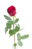 一朵猩红色红色玫瑰 库存照片