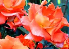 一朵玫瑰在庭院里 免版税图库摄影