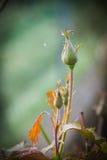 一朵玫瑰在秋天 库存照片