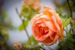 一朵玫瑰在秋天 免版税图库摄影