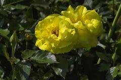 一朵玫瑰的一朵大黄色花在叶子,分支,芽的 库存照片