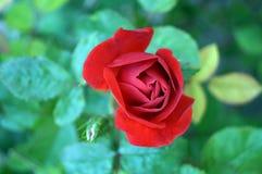 一朵玫瑰的分支与一朵红色花的 免版税库存照片