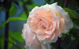 一朵玫瑰的嫩桃红色花反对绿色背景的 免版税库存照片