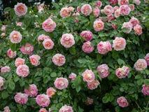 一朵玫瑰的特写镜头与许多桃红色开花的 免版税库存图片