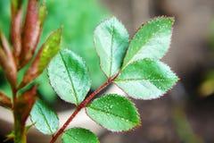 一朵玫瑰的绿色叶子在雨以后的在庭院里弄湿了特写镜头 库存图片