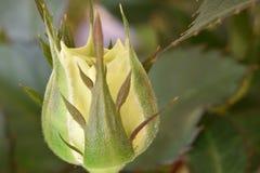 一朵玫瑰的美妙的黄色芽的特写镜头在一个庭院里在德国 库存图片