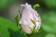 一朵玫瑰的芽在绿色背景的 免版税库存照片