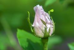 一朵玫瑰的芽在绿色背景的 免版税库存图片