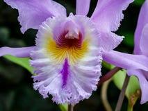 一朵玫瑰色兰花的大特写镜头 库存照片