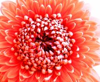一朵珊瑚桃红色色的大丁草Pomponi Bonita花的特写镜头 免版税图库摄影