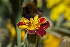 一朵生动的颜色万寿菊花的特写镜头在庭院里 免版税库存图片