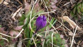 一朵番红花在庭院里 免版税库存图片