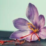 一朵番红花花 库存图片