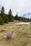一朵番红花heuffelianus花在早期的春天 库存图片