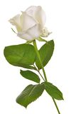 一朵白玫瑰隔绝了 免版税库存照片