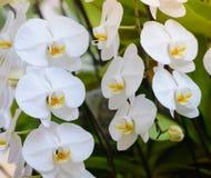 一朵白色兰花在庭院里举行 库存照片