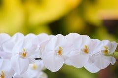 一朵白色兰花在庭院里举行 免版税库存照片