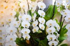 一朵白色兰花在庭院里举行 图库摄影