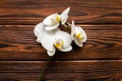 一朵白色兰花的分支 免版税库存照片