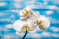 一朵白色兰花的分支 图库摄影