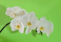 一朵白色兰花的抽象在软的绿色背景的 免版税库存照片