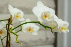 一朵白色兰花的特写镜头 免版税库存图片