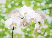 一朵白色兰花的芽 免版税库存照片
