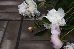 一朵白色和桃红色枯萎的牡丹花的特写镜头与水下落的在雨以后 r 免版税图库摄影
