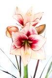 一朵白色和红色孤挺花花的抽象照片 免版税图库摄影