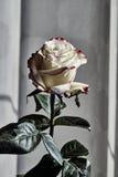 一朵白色和红色玫瑰花的细节 库存照片