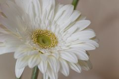 一朵白色大丁草花的特写镜头:它是菊科家庭的草本植物类起源于非洲,亚洲的和 免版税库存照片
