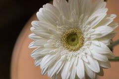 一朵白色大丁草花的特写镜头:它是菊科家庭的草本植物类起源于非洲,亚洲的和 免版税图库摄影