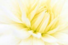 一朵白色大丽花的宏指令 图库摄影