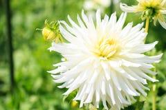 一朵白色大丽花的宏指令 库存照片