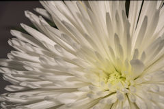 一朵白色大丽花的特写镜头照片背景或纹理的 库存照片
