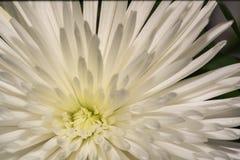 一朵白色大丽花的特写镜头照片背景或纹理的 免版税库存照片