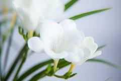 一朵白色小苍兰花的一个美丽的特写镜头与浅景深的 在窗口附近的春天花 库存照片