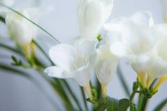 一朵白色小苍兰花的一个美丽的特写镜头与浅景深的 在窗口附近的春天花 免版税库存照片