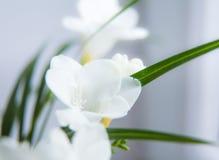 一朵白色小苍兰花的一个美丽的特写镜头与浅景深的 在窗口附近的春天花 库存图片