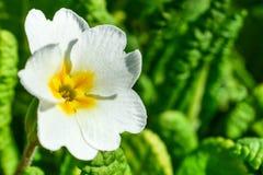 一朵白色报春花的一朵花在绿色叶子背景的  图库摄影