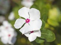 一朵白色报春花花的特写镜头 免版税库存图片