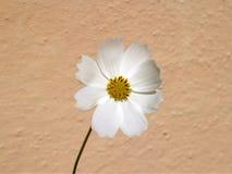 一朵白色波斯菊花和米黄墙壁 免版税库存图片