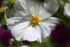 一朵白色波斯菊花的特写镜头 库存图片