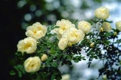 一朵白色玫瑰的开花的灌木 库存图片
