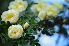 一朵白色玫瑰的开花的灌木 库存照片